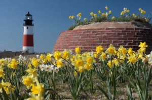 Daffodils at Sankaty Lighthouse