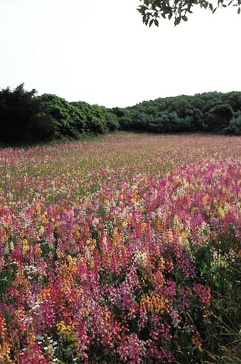 'Sconset Wildflowers at the Triangle