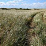 Beach grass with trail