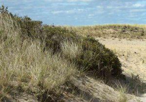 Beach grass on a bank