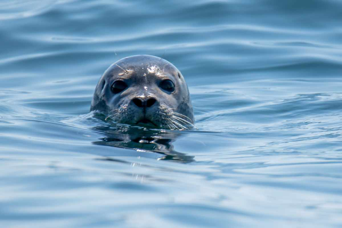 Harbor seal sticking its head out of the water.